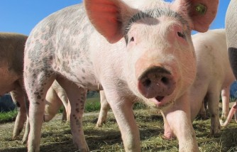Boy Raises $26K in a Hog Auction for Hospital Bills of His Father Who Has Cancer [Hog Was Sold 5 Times!]