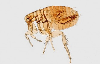5 Effective Steps on How to Get Rid of Fleas in House