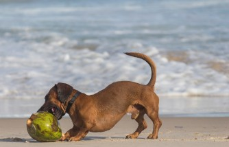 Coconut Oil for Dogs: Reasons Why Should You Even Consider Giving It