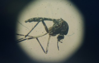 Zika mosquito under a microscope