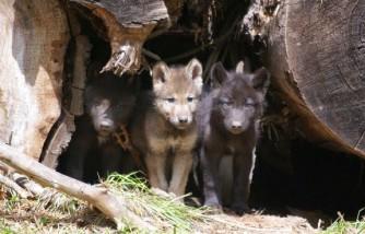 OR7's Pups Denning Near the Oregon-California Border