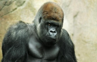 Cincinnati Zoo personnel shot dead a 17-year-old silverback gorilla named Harambe in an effort to save a 3-year-old boy who slipped into the creature's enclosure.