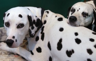 Dalmatians Helped Child With Autism Read